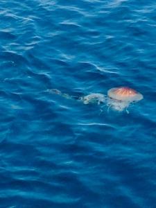 Jellyfish - Ilfracombe Sea Safari, North Devon