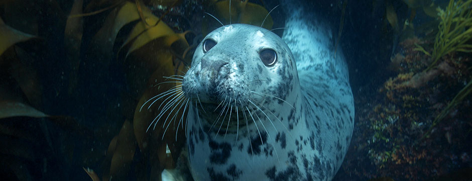 Over 200 grey seals can be found at Lundy